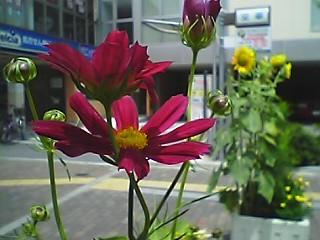 Pakakosumosu.JPG